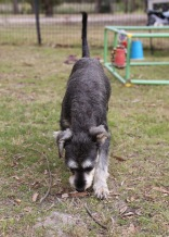 FAWN - Bankisa park puppies - 1 of 60 (21)