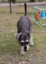 FAWN - Bankisa park puppies - 1 of 60 (22)