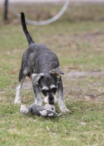 FAWN - Bankisa park puppies - 1 of 60 (50)