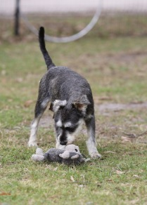 FAWN - Bankisa park puppies - 1 of 60 (52)