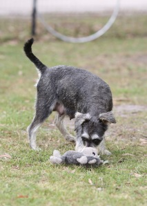 FAWN - Bankisa park puppies - 1 of 60 (56)