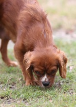JOY - Bankisa park puppies - 1 of 35 (1)