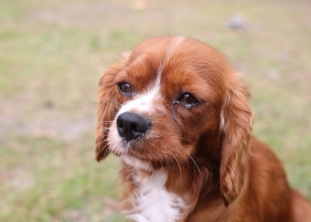 JOY - Bankisa park puppies - 1 of 35 (11)