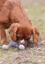 JOY - Bankisa park puppies - 1 of 35 (13)