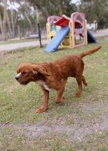 JOY - Bankisa park puppies - 1 of 35 (15)
