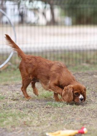 JOY - Bankisa park puppies - 1 of 35 (18)