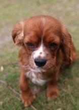 JOY - Bankisa park puppies - 1 of 35 (2)