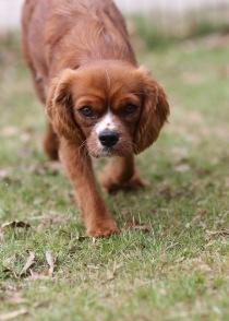 JOY - Bankisa park puppies - 1 of 35 (23)