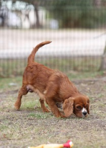 JOY - Bankisa park puppies - 1 of 35 (24)