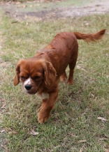 JOY - Bankisa park puppies - 1 of 35 (26)