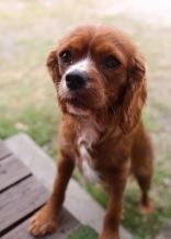 JOY - Bankisa park puppies - 1 of 35 (27)