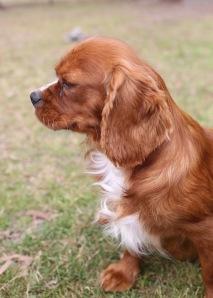 JOY - Bankisa park puppies - 1 of 35 (32)
