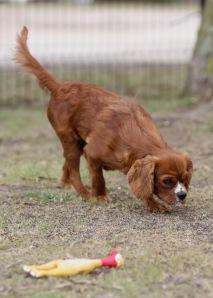 JOY - Bankisa park puppies - 1 of 35 (34)