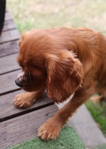 JOY - Bankisa park puppies - 1 of 35 (4)