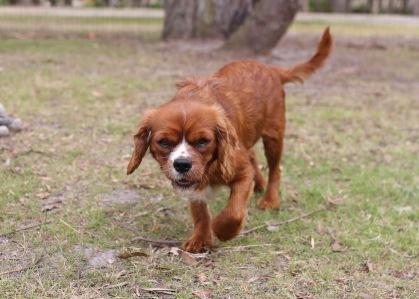 JOY - Bankisa park puppies - 1 of 35 (5)