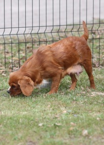 JOY - Bankisa park puppies - 1 of 35 (7)