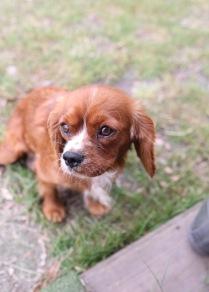 JOY - Bankisa park puppies - 1 of 35 (8)