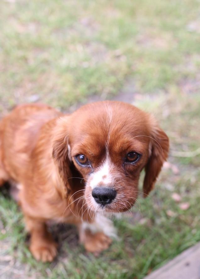 JOY - Bankisa park puppies - 1 of 35