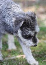 FLEUR - banksia park puppies - 1 of 60 (10)