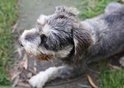 FLEUR - banksia park puppies - 1 of 60 (8)