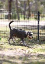 FLEUR - banksia park puppies - 1 of 60