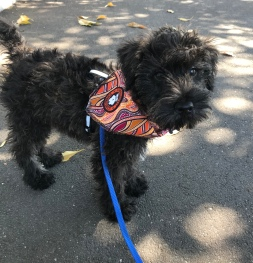 @monty.the.schnoodle 11 weeks old!