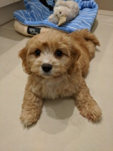 We got our adorable Chloe on 26 January 2019 and she's the best! So cute, confident and loving. @a_cavoodle_called_chloe