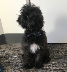 @monty.the.schnoodle 4 months old!