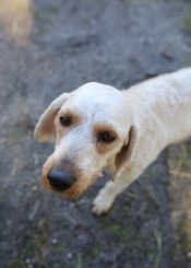 Adelaide - Banksia park puppies - 1 of 46 (1)
