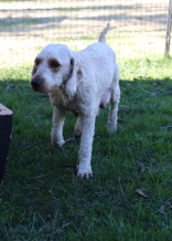 Adelaide - Banksia park puppies - 1 of 46 (10)