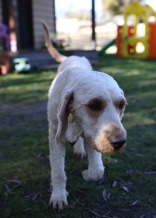 Adelaide - Banksia park puppies - 1 of 46 (12)