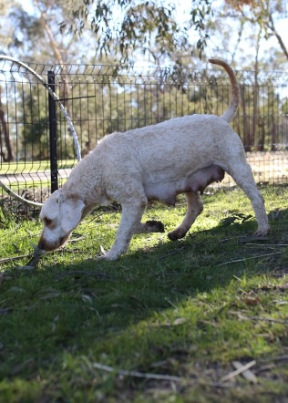 Adelaide - Banksia park puppies - 1 of 46 (15)