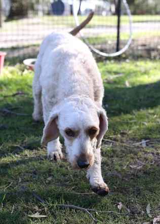Adelaide - Banksia park puppies - 1 of 46 (16)