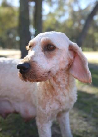 Adelaide - Banksia park puppies - 1 of 46 (17)