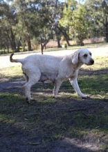 Adelaide - Banksia park puppies - 1 of 46 (21)