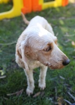 Adelaide - Banksia park puppies - 1 of 46 (22)