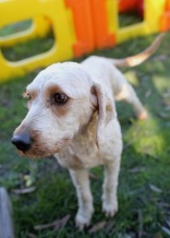 Adelaide - Banksia park puppies - 1 of 46 (23)