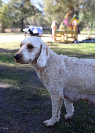 Adelaide - Banksia park puppies - 1 of 46 (24)