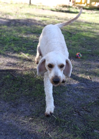 Adelaide - Banksia park puppies - 1 of 46 (25)