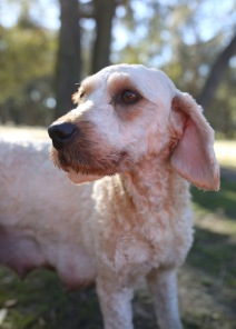 Adelaide - Banksia park puppies - 1 of 46 (28)