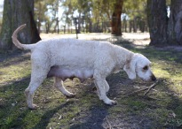 Adelaide - Banksia park puppies - 1 of 46 (29)