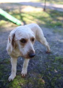 Adelaide - Banksia park puppies - 1 of 46 (31)