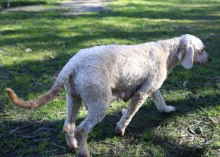 Adelaide - Banksia park puppies - 1 of 46 (33)