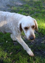 Adelaide - Banksia park puppies - 1 of 46 (37)