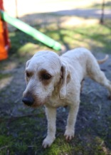 Adelaide - Banksia park puppies - 1 of 46 (38)