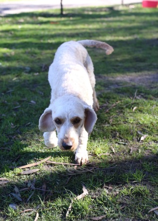 Adelaide - Banksia park puppies - 1 of 46 (4)