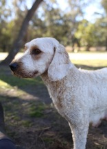 Adelaide - Banksia park puppies - 1 of 46 (40)