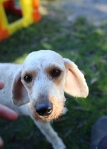 Adelaide - Banksia park puppies - 1 of 46 (45)