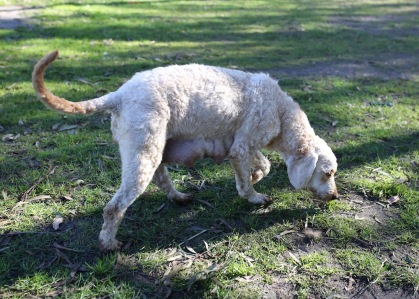 Adelaide - Banksia park puppies - 1 of 46 (5)