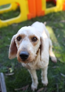 Adelaide - Banksia park puppies - 1 of 46 (6)